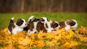 Miniature Dogs as well as Teacup Puppies Make the Ideal Pets